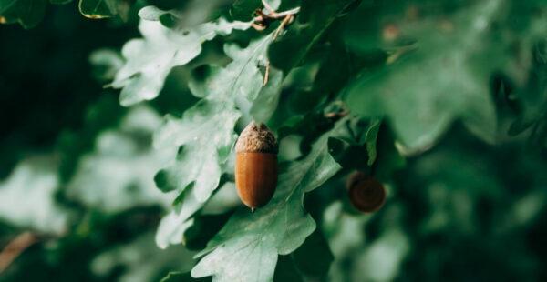 acorn_small